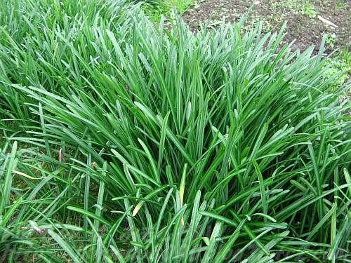 これはなんの草でしょう?