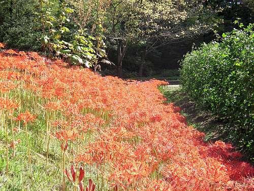 秋。上の画像と同じ所で咲いていたヒガンバナ