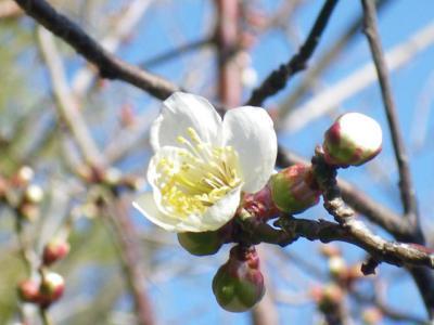 この春一番最初に開花した花