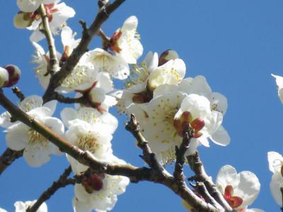 咲き誇る白梅