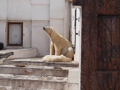 2013-4-3白クマ