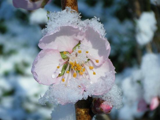 アーモンドの花拡大