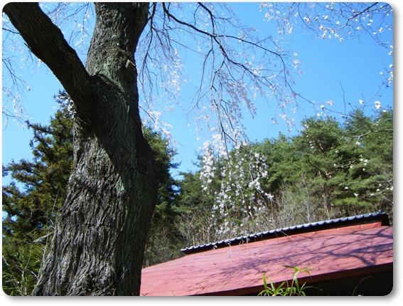 しだれ桜と赤い屋根