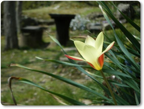 原種チューリップ、シンシアが咲いた