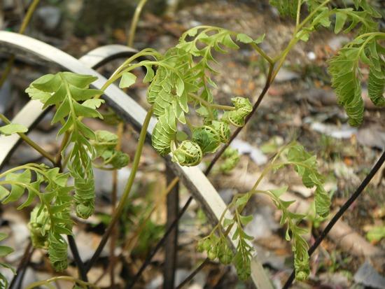 クジャクシダの新芽2