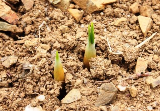 サフランの芽
