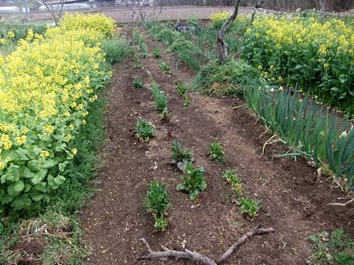2013.4.1 春の野菜畑(伊藤農園) 016