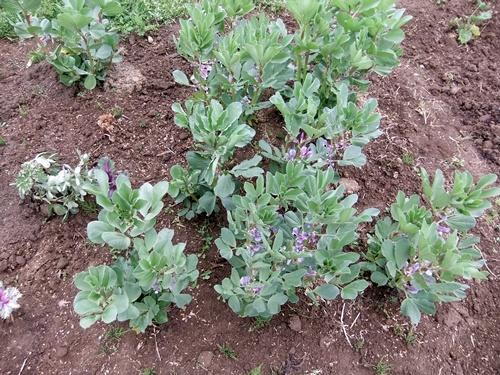 2013.4.1 春の野菜畑(伊藤農園) 020