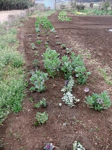2013.4.1 春の野菜畑(伊藤農園) 019