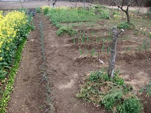 2013.4.1 春の野菜畑(伊藤農園) 017