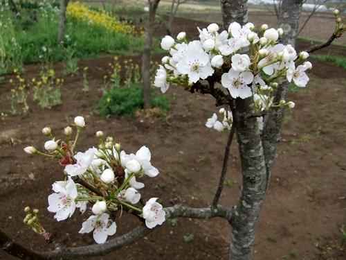 2013.4.1 春の野菜畑(伊藤農園) 027