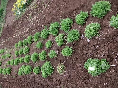 2013.4.1 春の野菜畑(伊藤農園) 026