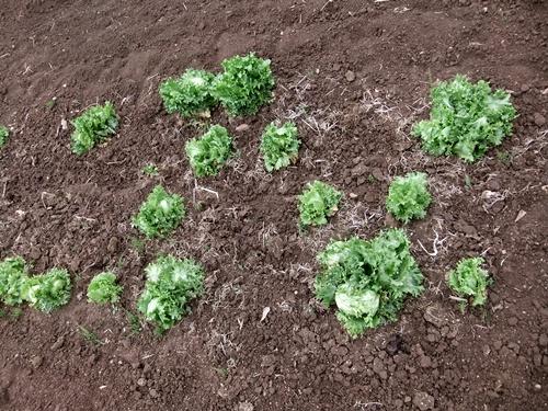 2013.4.1 春の野菜畑(伊藤農園) 024