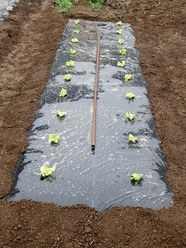 2013.4.1 春の野菜畑(伊藤農園) 023