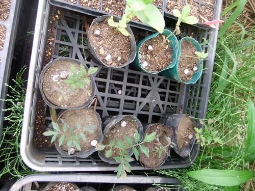 2013.4.25 発芽した野菜苗(伊藤農園) 045 (6)