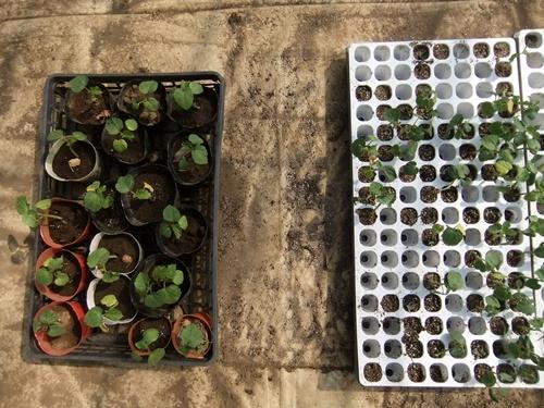 2013.5.4 本多宅の野菜(本多農園) 115 (1)