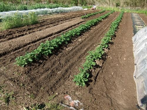 2013.5.2 畑の野菜(伊藤農園) 115 (5)