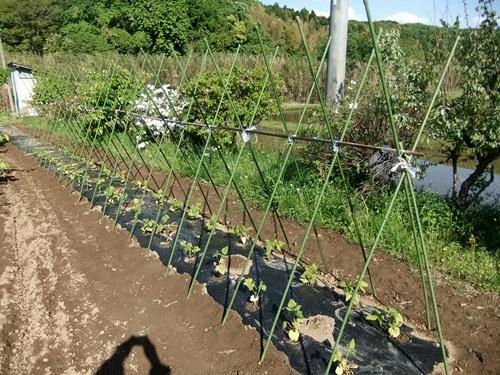 2013.5.2 畑の野菜(伊藤農園) 115 (4)