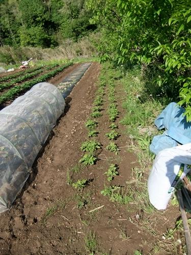 2013.5.2 畑の野菜(伊藤農園) 115 (3)
