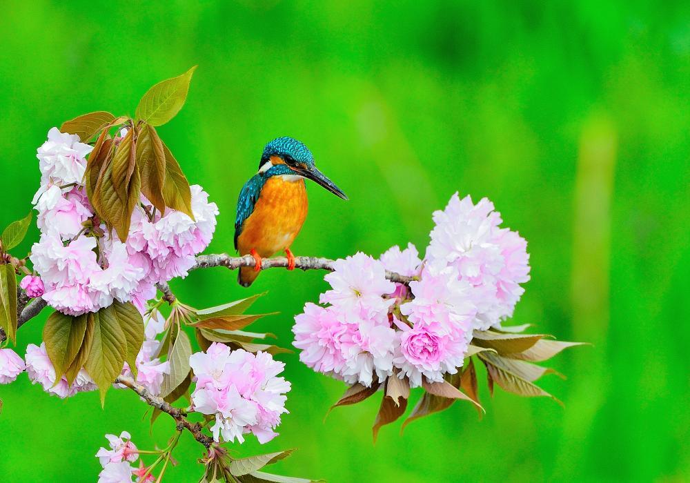 オオタカと桜カワセミ