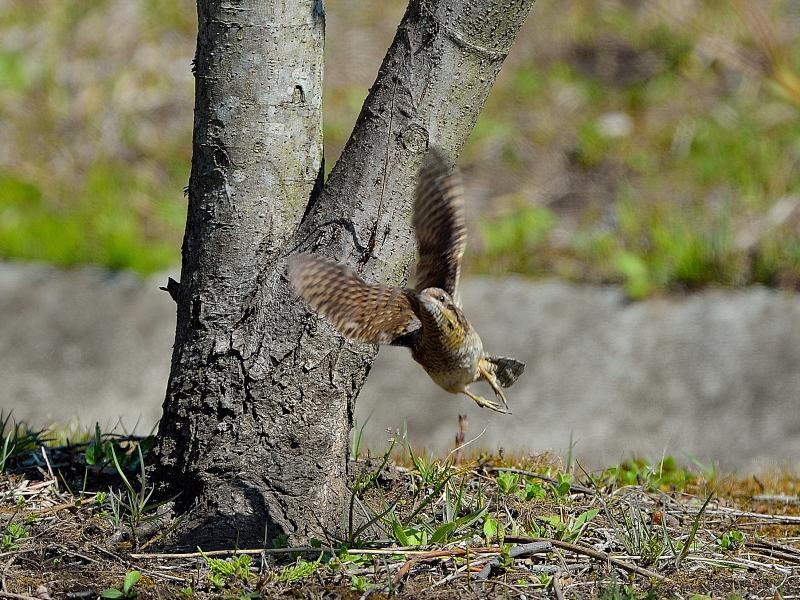 k公園の小鳥