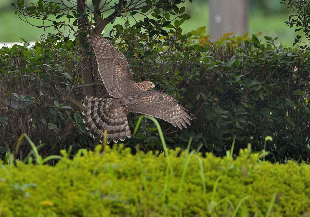 蓮池のオオタカの幼鳥