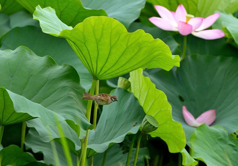 蓮池のスズメ