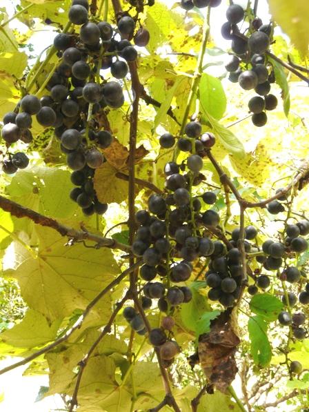 筑波実験植物園 メンデルのブドウ