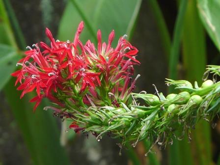 筑波実験植物園 ベニバナサワギキョウ 1