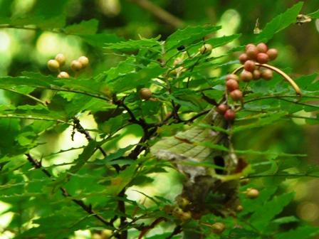 筑波実験植物園 サンショウの実