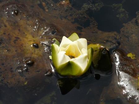 筑波実験植物園 ヒツジグサ 2