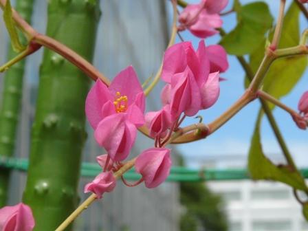 筑波実験植物園 アサヒカズラ 1
