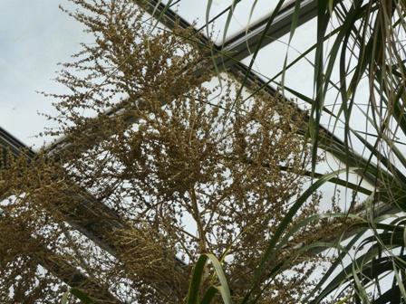 筑波実験植物園 温室 トックリラン 2