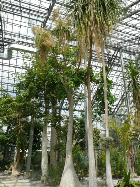 筑波実験植物園 温室 トックリラン 1