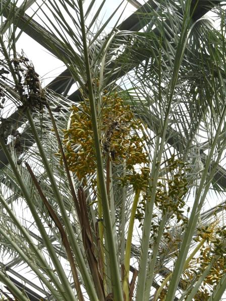 筑波実験植物園 温室 ナツメヤシ 1
