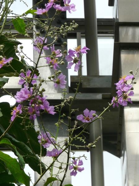筑波実験植物園 温室 オオバナサルスベリ 1