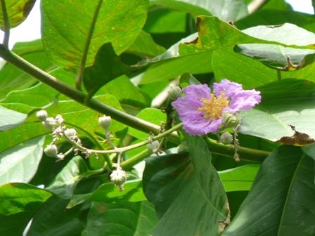 筑波実験植物園 温室 オオバナサルスベリ 2