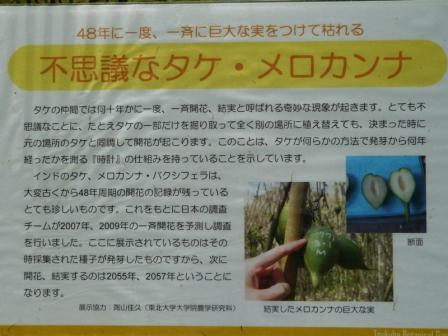 筑波実験植物園 温室 メロカンナ・バクシフェラ (説明板)