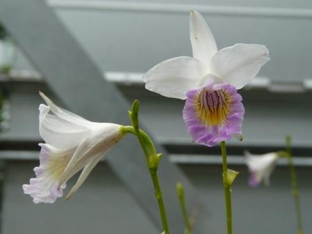 筑波実験植物園 温室 ナリヤラン