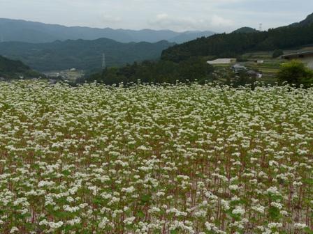 東温市 ソバの花 1