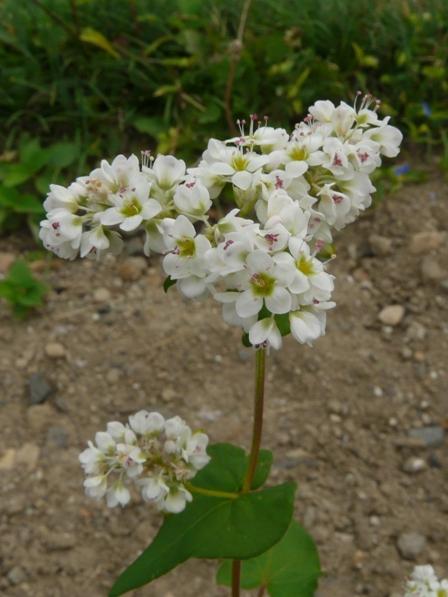 東温市 ソバの花 3