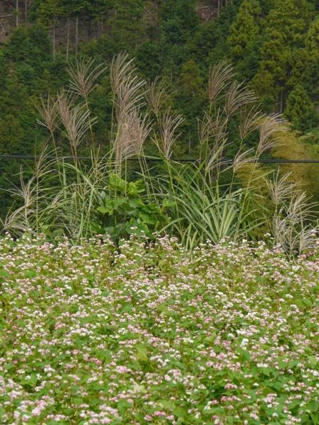 東温市 赤ソバの花 2