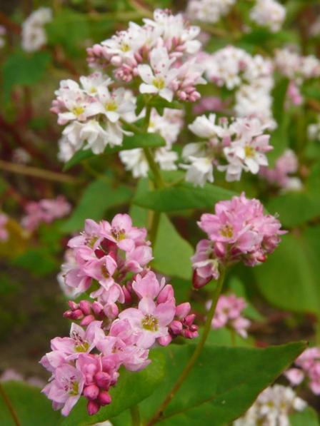 東温市 赤ソバの花 4