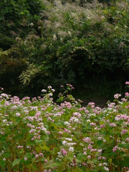 東温市 赤ソバの花 6