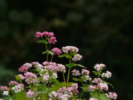 東温市 赤ソバの花 7