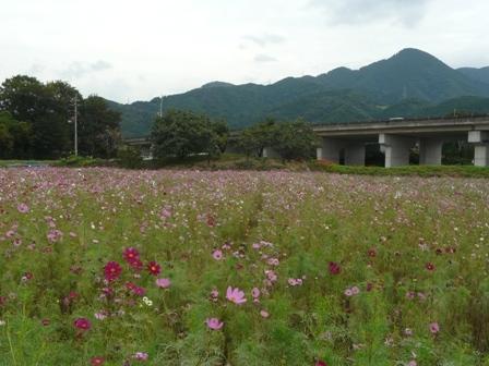 見奈良 コスモス 4