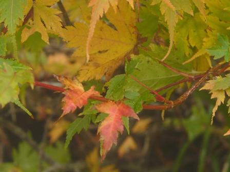 瓶ヶ森林道 少し紅葉 1