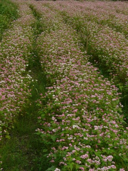 久万高原町 赤ソバの花 1