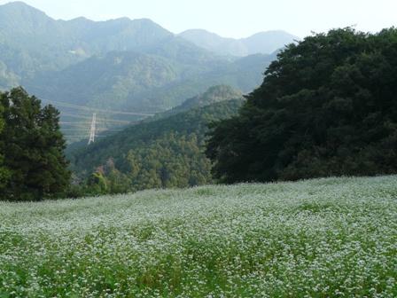 松山市久谷町 ソバの花 1