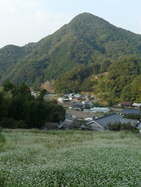 松山市久谷町 ソバの花 5